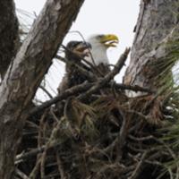 About the refuge bald eagle.jpg